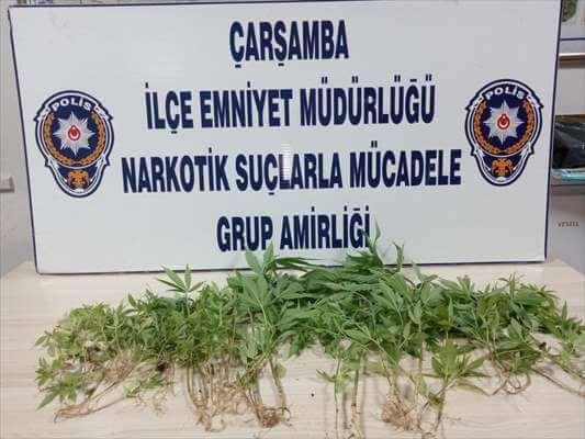 Çarşamba'da Uyuşturucu Operasyonunda 69 Kök Kenevir Ele Geçirildi
