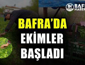 BAFRA'DA TÜTÜN EKİMLERİ BAŞLADI