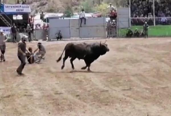 boğa güreşi festivalinde korkutan anlar; kaçan boğanın altında kaldı 12