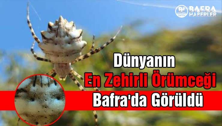 dünyanın en zehirli örümceği bafra'da görüldü